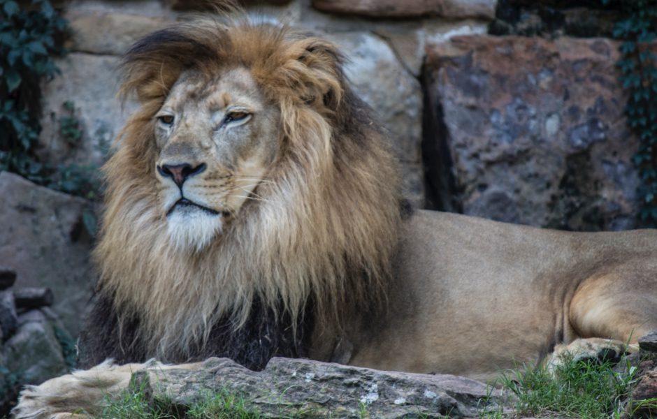 African lion - family activities to do in cambridge